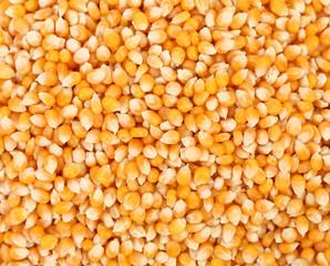 Closeup of corn grains.