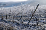 Vineyard in winter. Germany
