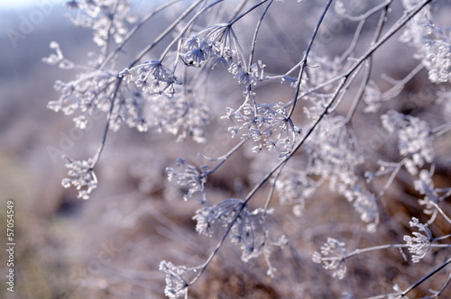 Winter floral background with frozen umbrella flowers