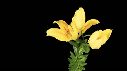 Blooming yellow lily flower buds ALPHA matte (Lilium Fifty Fifty