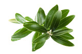 Fresh olive branch leaves isolated on white background