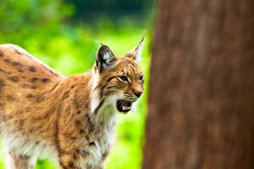 Tired yawning lynx in zoo showing his teeth.