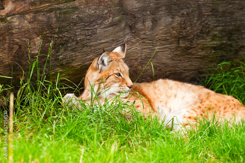 Lynx sleeping in the grass.