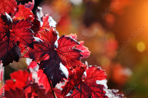 Red vine autumn leaves background