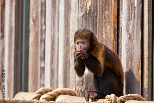 Single woolly monkey in zoo eating a carrot out of his hands.