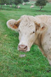 portrait d'une vache dans son pré