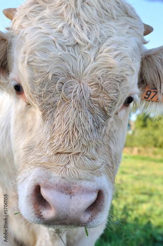 portrait d'un jeune veau
