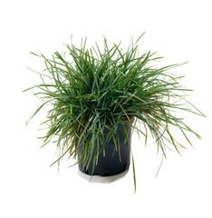 Ornamental grass Sesleria caerulea
