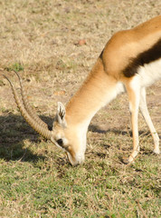 thompson gazelle grazing in kenya
