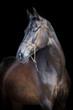 Black horse portrait, Ahal-Teke horse.