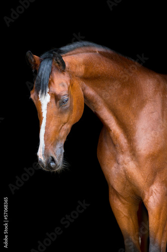 Brown horse head isolated on black, Holstein horse.