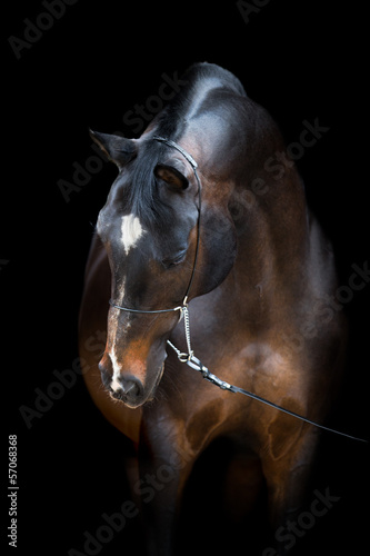 Brown horse head isolated on black, Trakehner horse.