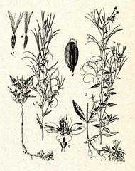 Fringed Willowherb (Epilobium ciliatum)