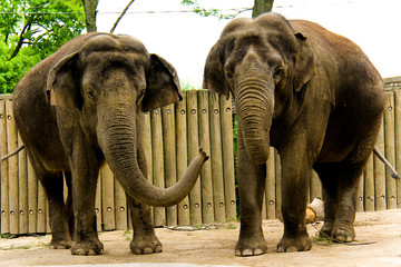 Two Elephants