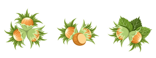 Hazelnuts clusters. Vector illustration.