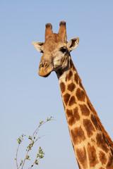 Giraffe portrait Kruger Park