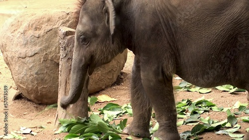 Sri Lankan Elephant baby at the Pinnawala Elephant Orphanage.
