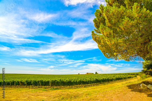 Chianti region, vineyard, pine tree and farm. Tuscany, Italy