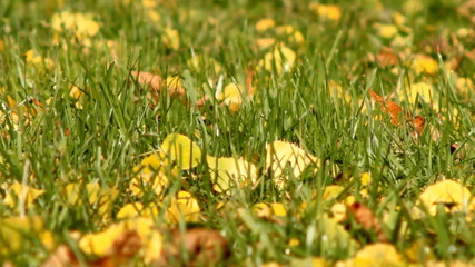 yellow leaves on the green grass