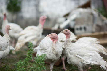 young turkeys on a farm