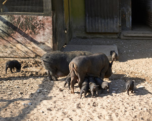Female pig feeding piglings