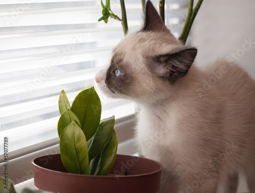 kitten breed snowshoe, two monthes, sniff plant