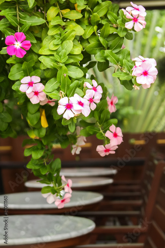 Beautiful Catharanthus roseus flowers at the terrace