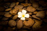 Alone a Frangipani (plumeria) flower on river stone background