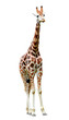giraffe isolated
