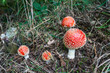 Colorful Fly Agaric buttons