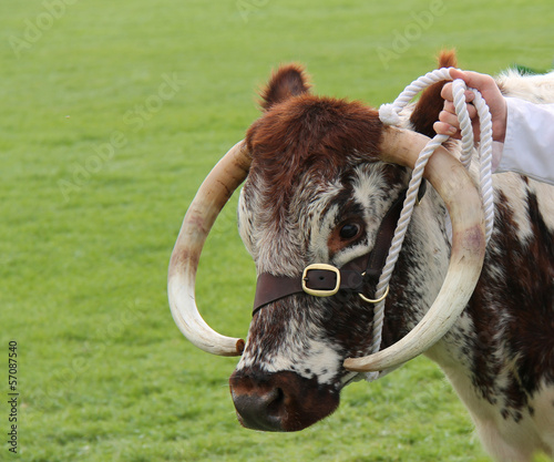 The Head of a Beautiful Longhorn Cattle.