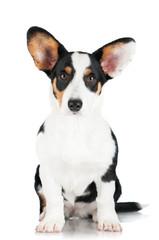 welsh corgi cardigan dog isolated