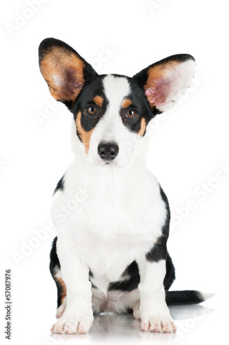 welsh corgi cardigan dog isolated