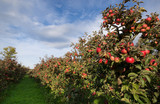 Ripe apples on trees in orchard - 57091175