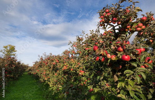 Ripe apples on trees in orchard