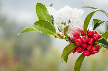 Snowcovered holly twig with berries