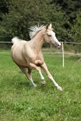 Beautiful palomino horse running on pasturage
