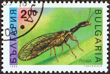 Snakefly (Raphidia notata) (Bulgaria 1993)