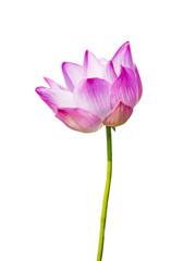 magenta lotus flower