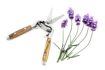 Lavender Herb Flowers