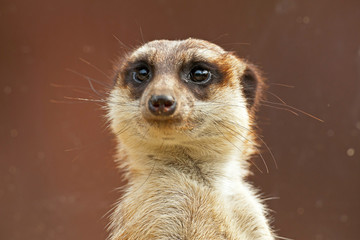 Meerkat in zoo. Close-up.
