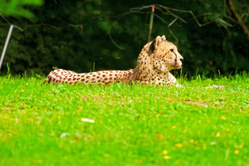 One lazy cheetahs resting in the grass in the zoo.