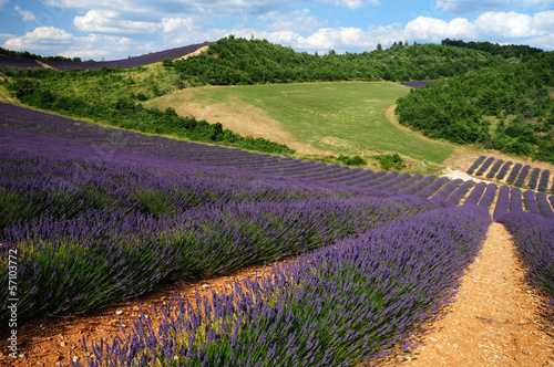 Lavener fields in Provence