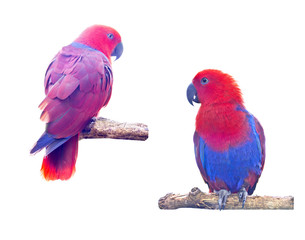 Two macaw parrot isolated on white background