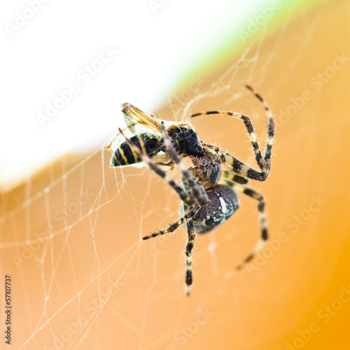 Araneus spider feeds wasp