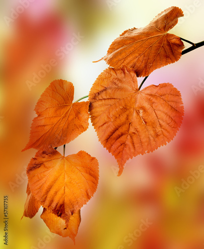 autumnal lime branch