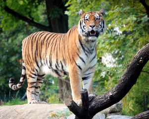 Tiger Full Size Portrait