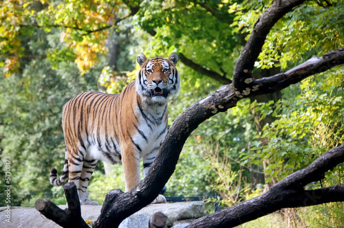 Fototapeten,tiger,panthera,tigris,katze