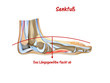 anatomie senkfuss