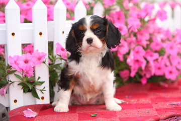 Cavalier King Charles Spaniel Puppy in Front of Picket Fence